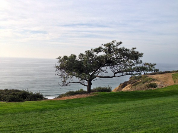 A Torrey Pine on the third hole at Torrey South. Photo Credit: Bernie D'Amato-FanSided.com.