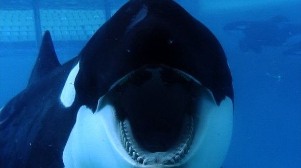 Tilikum in a scene from BLACKFISH, a Magnolia Pictures release. Photo courtesy of Magnolia Pictures. Photo credit Suzanne Allee.