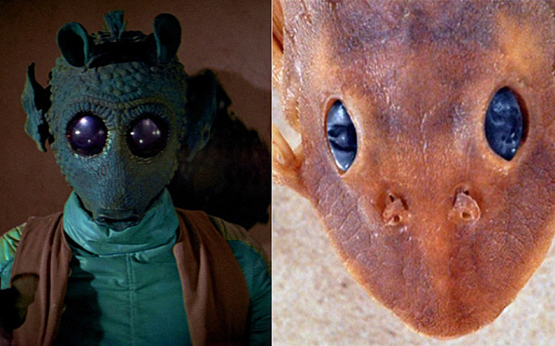 New species of catfish gets a star wars name for Star wars fish